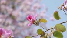 先开花后长叶!广州沿路万株紫荆花盛开